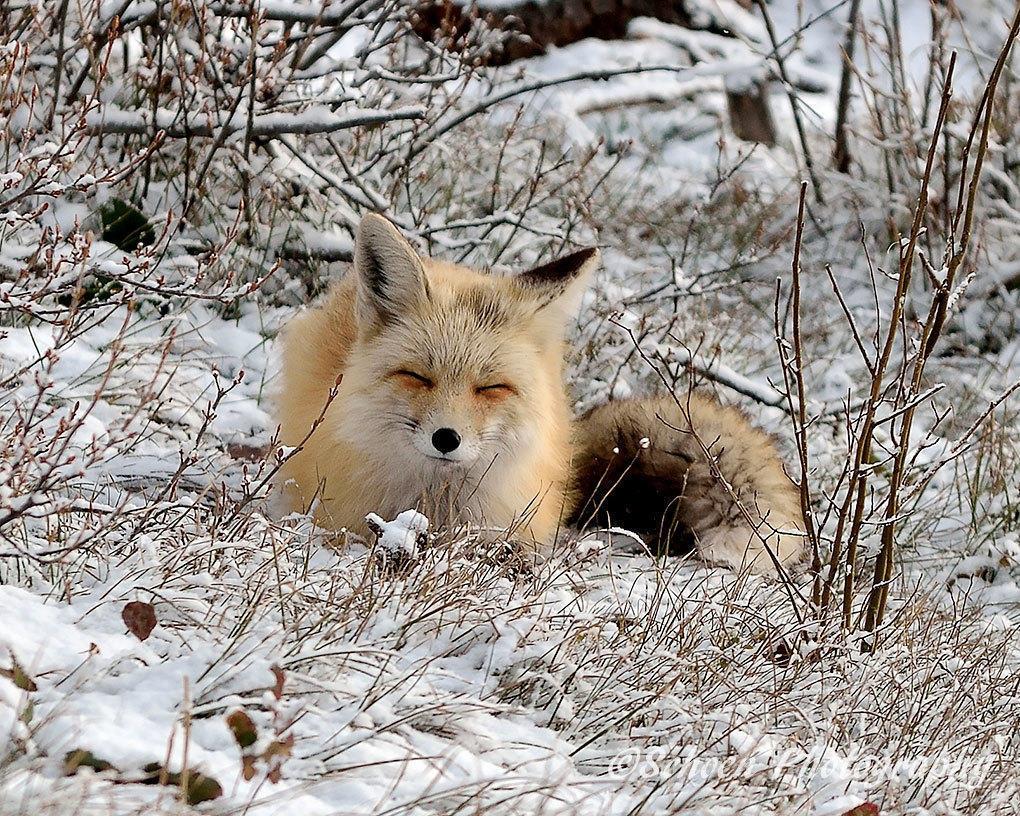 Fox 006