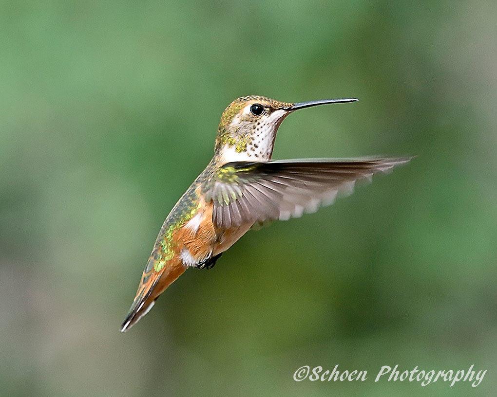 Hummingbird 008
