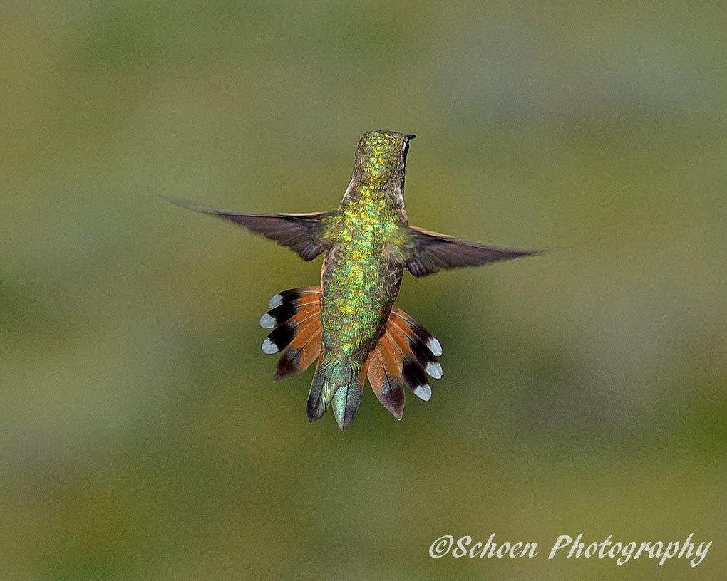 Hummingbird 009