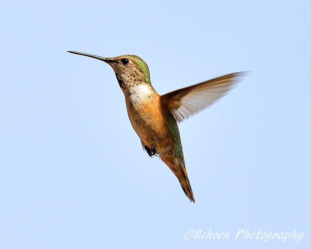 Hummingbird 015