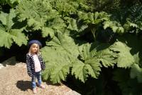 Beeindruckenden Größe haben die Blätter des Riesenrhabarber.