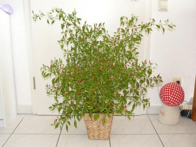 Ein prächtiger Bonsai-Chili Stock.