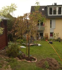 Auch der Zierapfel ist endlich eingepflanzt.