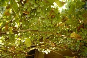 Ein Himmel voller Trauben