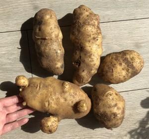 Riesenkartoffeln