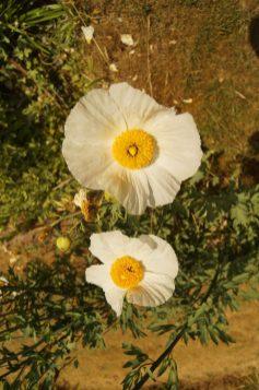 Weißer Mohn im Senkgarten