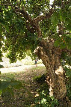 Stamm des alten Malbeer Baumes
