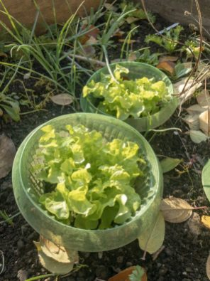 Endivien Salat im Garten