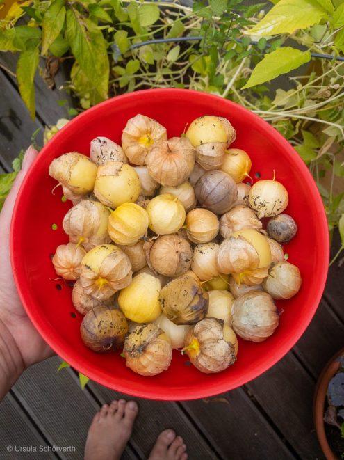 Tomatillo Ernte im Balkon Gemüse Garten