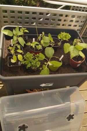 Raus in den Balkon Gemüse Garten