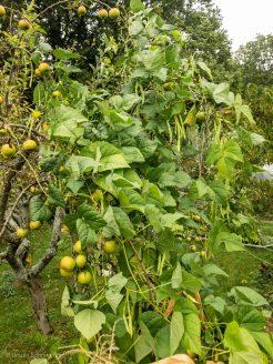 Stangenbohnen ranken sich am Apfelbaum hoch