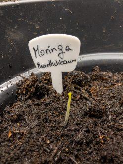Nach der Aussaat. 2 von 7 Samen sind aufgegangen.
