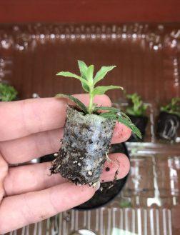 aribajungpflanzen02