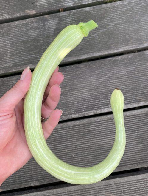 Zucchini Tromboncino