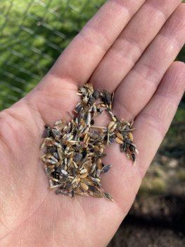 Samen von einjährigen Blumen wie Borretsch, Ringelblumen, Kornblumen, Nelken, ungefüllte Tagetes, Lein, Hasenohr, Schafgarbe oder Jungfer im Grünen