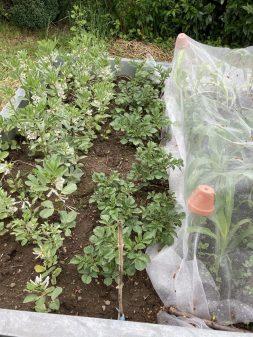 Kartoffelreihe im Gemüsebeet