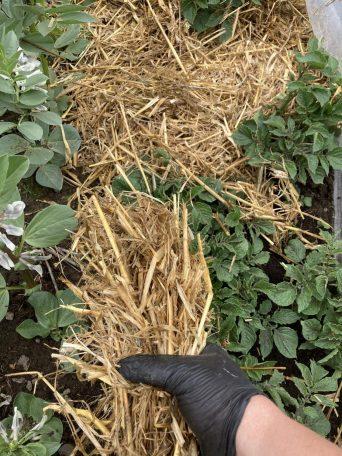 Erde um die Kartoffeln mit Stroh abmulchen