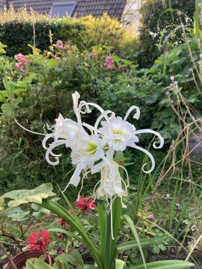Die graziöse Ismene ist die prächtigste Blume in meinen Beeten