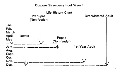 diagram of the life cycle strawberry 1994 honda civic fuse qbars - v31n3 history obscure root weevil