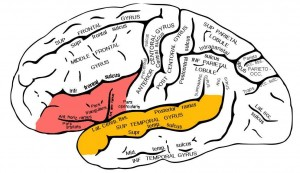 Dorsal inferior frontal gyrus (red) and posterior superior temporal gyrus (orange)