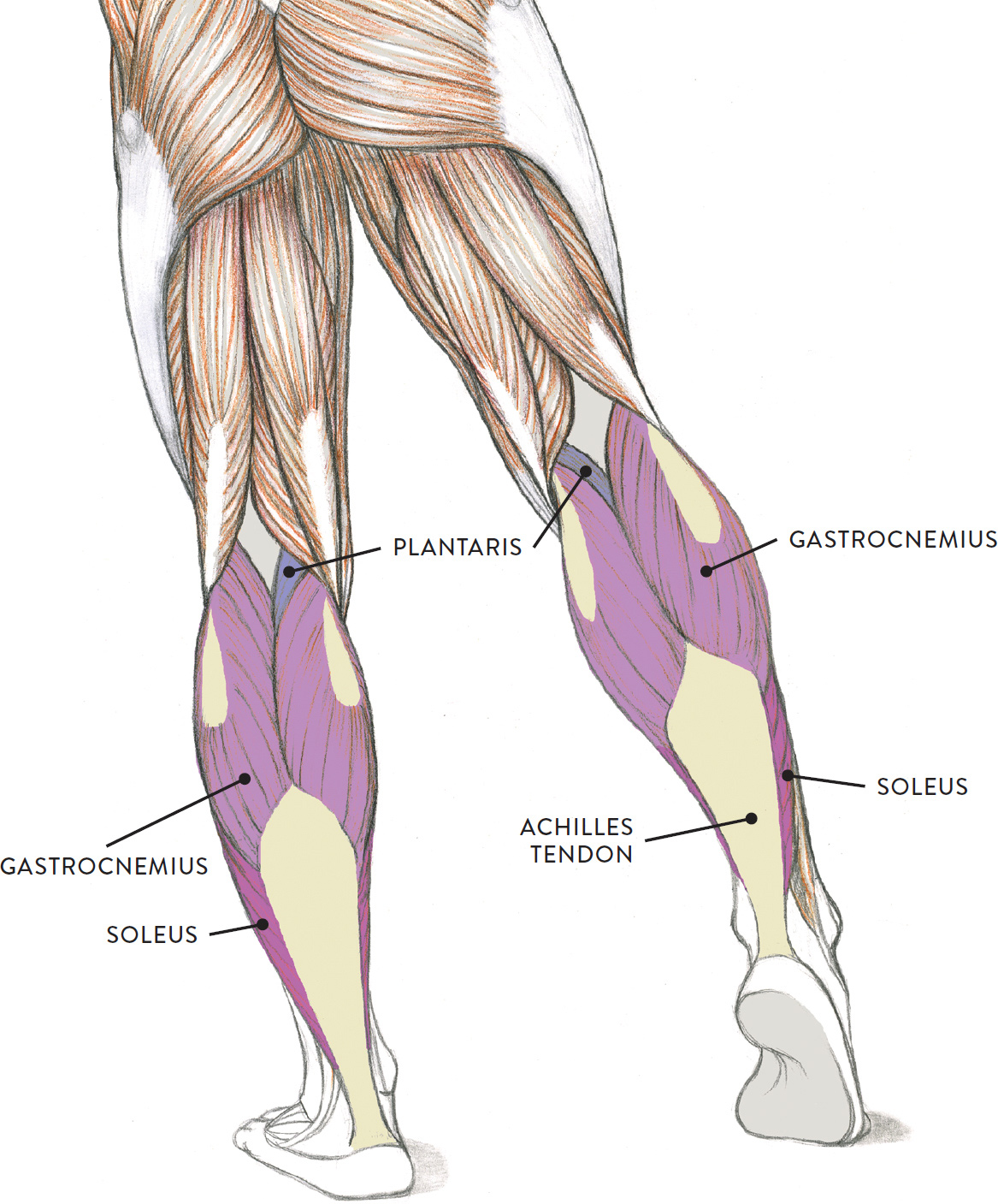 upper leg muscles diagram remote start wiring diagrams for vehicles of the and foot classic human anatomy in