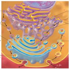 Eukaryotic Endomembrane System Cell Diagram Ps2 Controller To Usb Wiring Organelles Composed Of Membranes Structure And Function Cornerstones Chemistry Cells Metabolism Concepts In Biology