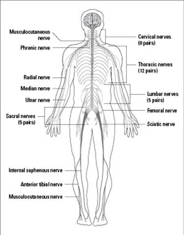The Nervous and Endocrine Systems, Messengers