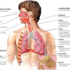 Diagram Of The Nose And Its Functions 2005 Chevy Equinox Headlight Wiring Upper Respiratory System Structures Www Toyskids Co Biology Humans Human