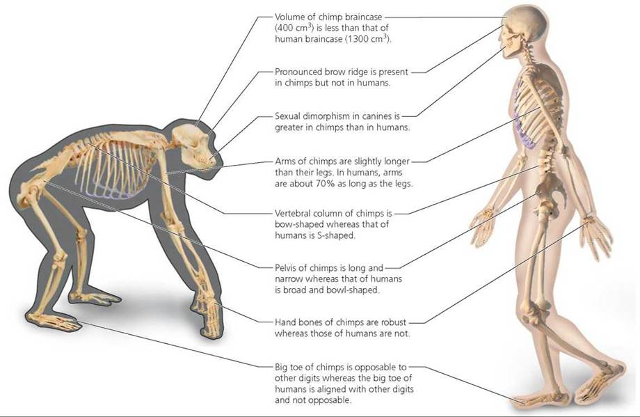 chimpanzee skull diagram 1996 bmw z3 wiring evolution and our heritage - biology of humans