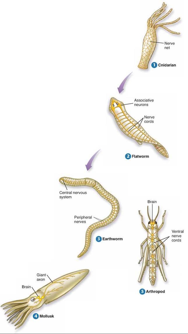Image result for nervous system evolution