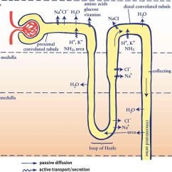 Bowman S Capsule Diagram Solar Wiring Off Grid The Excretory System Homeostasis Mcat Biology Review