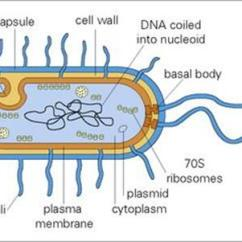 Gram Negative Cell Wall Diagram Seven Plug Trailer Wiring The Bacteria - Adversaries Microbes Medical Microbiology