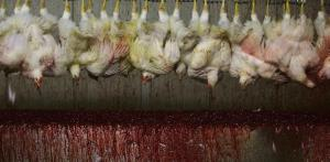 Image from Huffington Post  Meat consumption should be cut down by everyone not only for health reasons, but to also save animals' lives from the cruel treatments of the meat industry.
