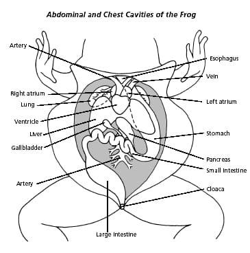 Frog Dissection: Background & Urogenital System