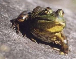 bull_frog.jpg