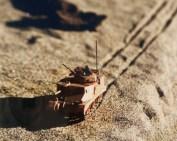 Desert Grant close-up.