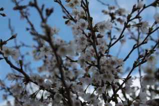 82 cherry blossom resized