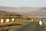 Es gibt mehr Schafe als Einwohner in Schottland, was Sie auf jeder individuellen Rundreise sehen duerften.