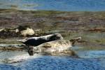 Auf der Whiskyreise nach Islay fahren wir oft Portnahabhain an, wo sich im Hafenbecken Robben aalen.