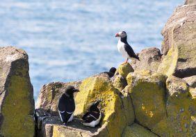 Puffins und anderes Wildlife kann man in Schottland vielerorts beobachten.