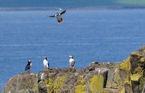 In Schottland gibt es zw. April und Juli einige Orte, um Puffins zu beobachten.