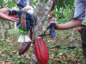 Ernten einer reifen Kakaobohne