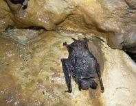 Skoro mŕtvy netopier - Autor: Juraj Szunyog