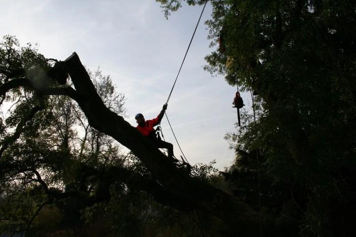 Schwerin: Baumpflege mit Verkehrsbehinderungen