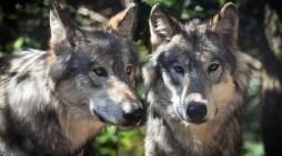 Schwerin: Abgeordneter fordert aktive Regulierung des Wolfsbestands