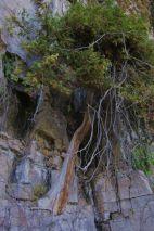 Ancient cedar. Photo: Fiona Reid