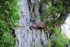 Cedar growing from sheer cliff face. Photo: Fiona Reid