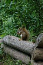 Red squirrel. Photo: Elizabeth Pratt.