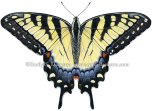 Eastern Tiger Swallowtail by Emily S. Damstra
