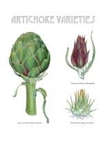 Artichoke Varieties by Maayan Harel